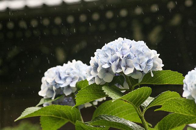 2017-06-13-ajisai-3
